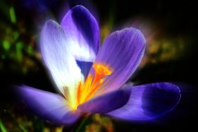 magnificent Crocus Purple Spring