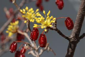 Flower buds and dry fruits of dogwood tree close up