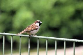 male Sparrow perched metal Fence