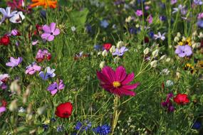 colorful cosmos flowers on meadow