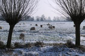 flock of sheep on a frozen winter pasture