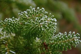 Fir Tree, frosted Green twigs