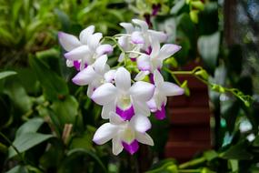 purple-white blooming orchid