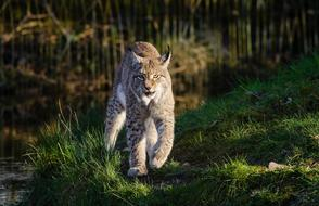 Bobcat walking straight in wild