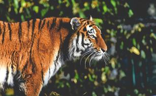 photo of a tiger at the Tierpark Hellabrunn Zoo in Munich
