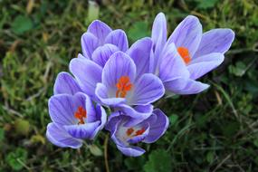 Crocus Purple Violet red