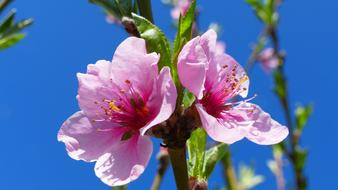 goodly Flower Peach Spring