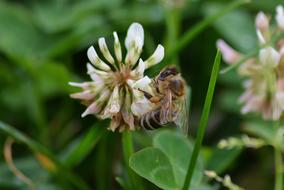honey bee on white clover