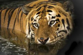 Tiger Wildlife water