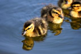 small Mallard Ducklings