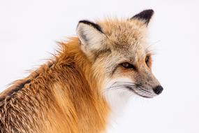 ravishing Red Fox Wildlife
