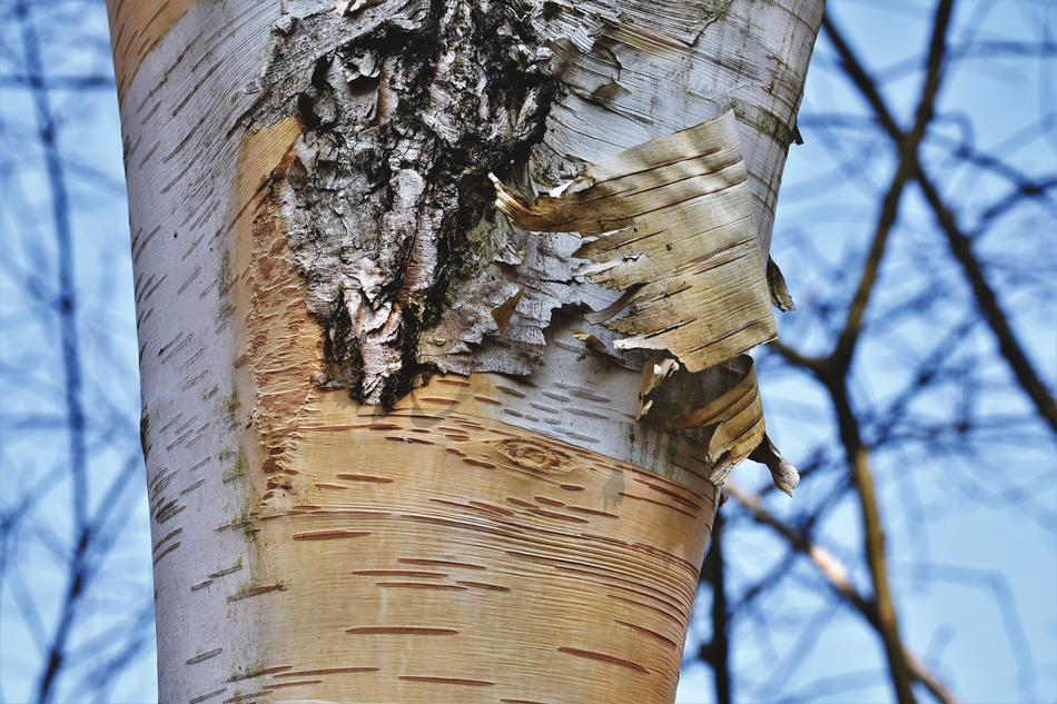 splendid Birch Bark