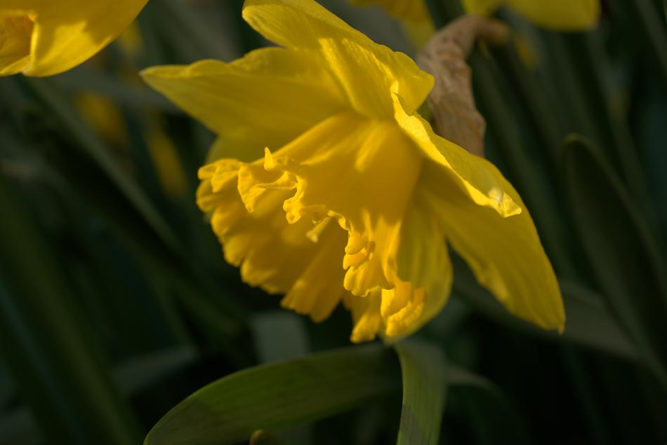yellow Daffodil at sunlight close up