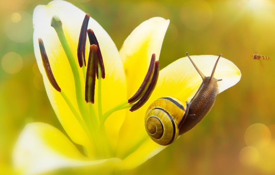 snail on lily Flower
