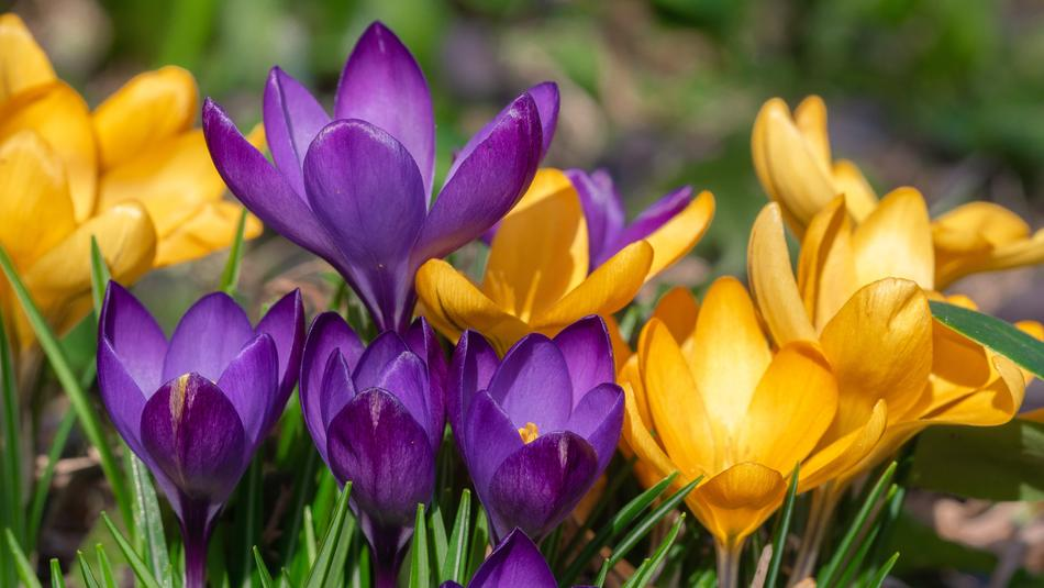incredible Flower Crocus Spring