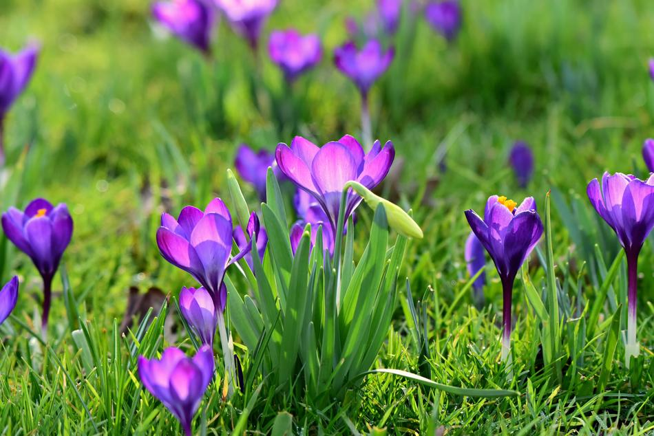 amazing Crocus Spring Flower