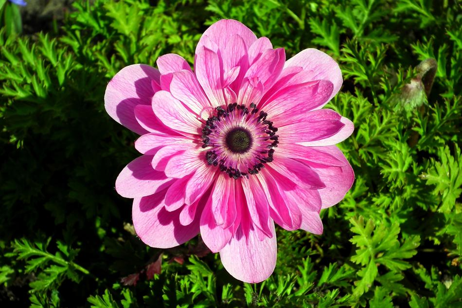 incredible Anemone Flower Pink