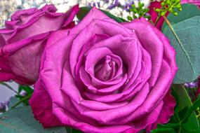 absolutely beautiful Rose Pink Purple