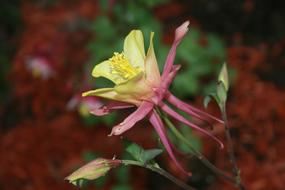 pink and yellow aquilegia Flower