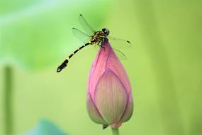 black and yellow dragonfly on a pink lotus bud