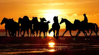 sunset camargue horses