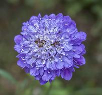 wonderful Scabious Wildflower Purple