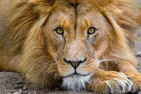 photo of a lion who is closely watching