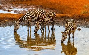 impressively beautiful zebras