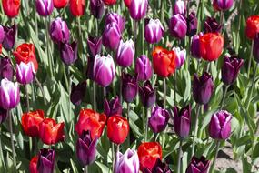 magnificent Spring Tulips Flowers
