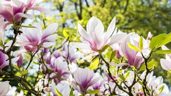 absolutely beautiful Magnolia Nature