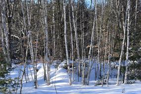 ravishing Birch Trees Snow