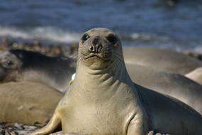 Elephant Seal in front of pod on beach, Portrait