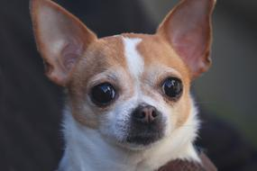 cute Chihuahua Dog Portrait