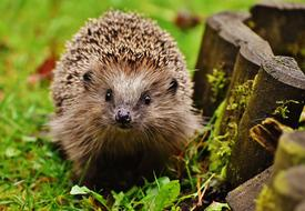 spiny hedgehog running on green grass in the garden