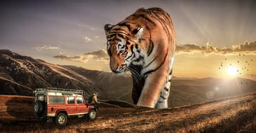 giant tiger looking at man sitting on hood of car at scenic sunset landscape, collage