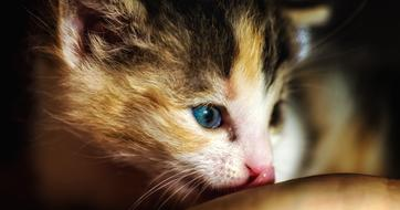 Tiny Cute Kitten head close up