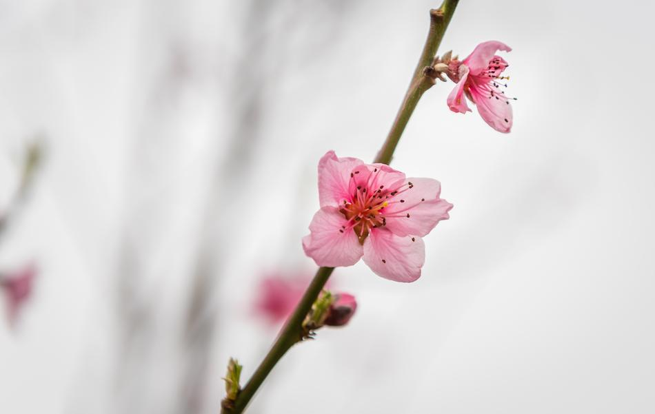 pink buds on a peach tree branch against the sky