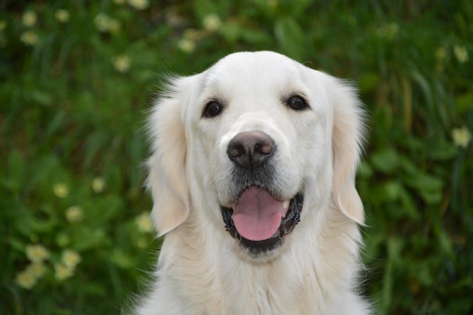 Mollie Golden Retriever dog