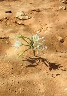 Dead Sea Timna flower