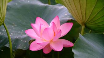 pink flower and green leaves of Lotus close up