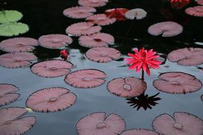 red Lotus, flowers and leaves on water