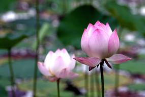 purple and white lotuses in the temple pond