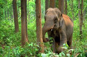 Elephant Indian in forest