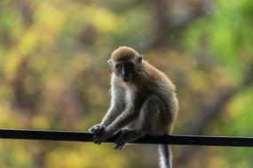 Monkey sits on steel rope outdoor