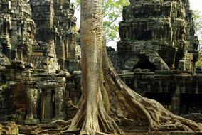 Cambodia Angkor Temple tree