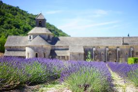 Lavender cultivation monastery church
