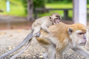 Macaque Monkeys