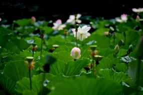 Lotus Pond Flowers green