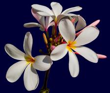branch of white plumeria on dark background