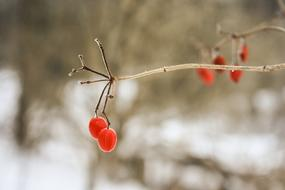 Tree Berries Branch red snow